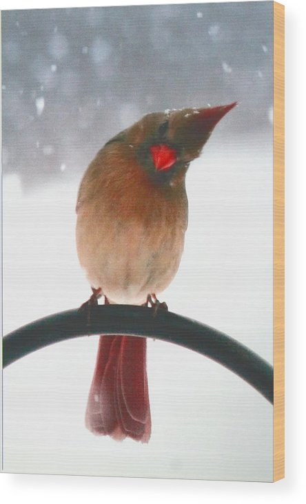 Female Northern Cardinal Wood Print featuring the photograph Snow Bird by Diane Merkle