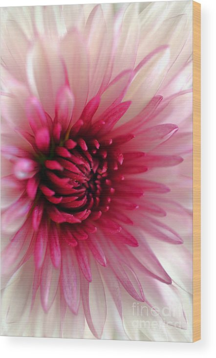 Chrysanthemum Wood Print featuring the photograph Splash Of Pink by Deb Halloran