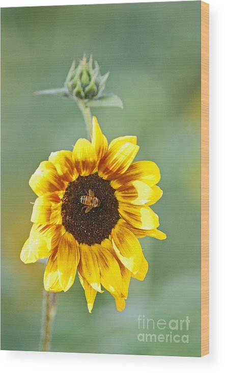 Sunflower Wood Print featuring the photograph Sunflower With Honey Bee. by Earl Nelson