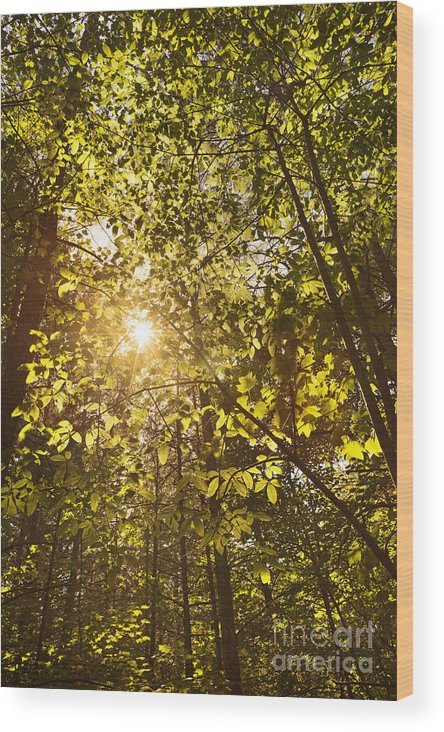 Canopy Wood Print featuring the photograph Sunlight Shining Through A Forest Canopy by Jonathan Welch