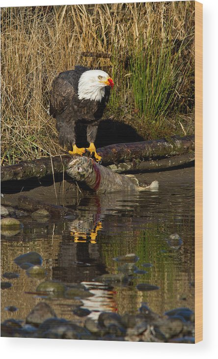 Bald Eagle Wood Print featuring the photograph The Kill by Shari Sommerfeld