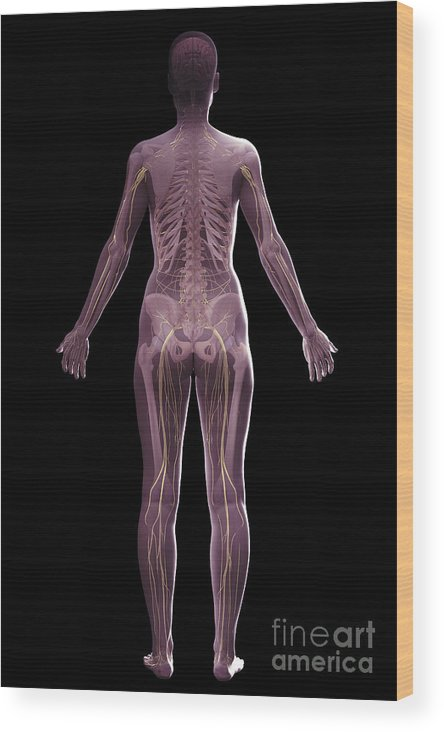 Tibia Wood Print featuring the photograph The Nervous And Skeletal Systems Female by Science Picture Co
