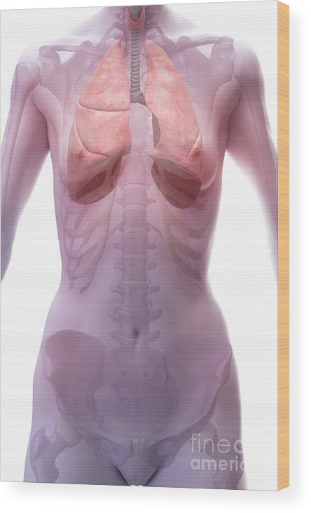Digitally Generated Image Wood Print featuring the photograph The Respiratory System Female by Science Picture Co