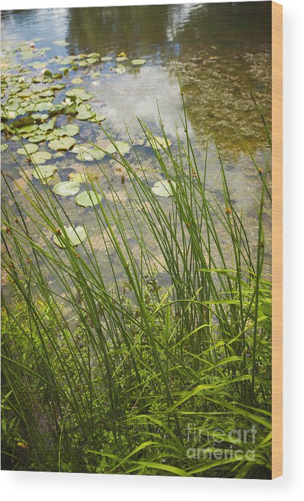 Water; Nature; Grasses; Lily; Lily Pond; Pads; Lily Pond; Green; Flowers; Reflection; Sky; Beautiful; Pretty; Natural; Side Wood Print featuring the photograph The Side Of The Lily Pond by Margie Hurwich