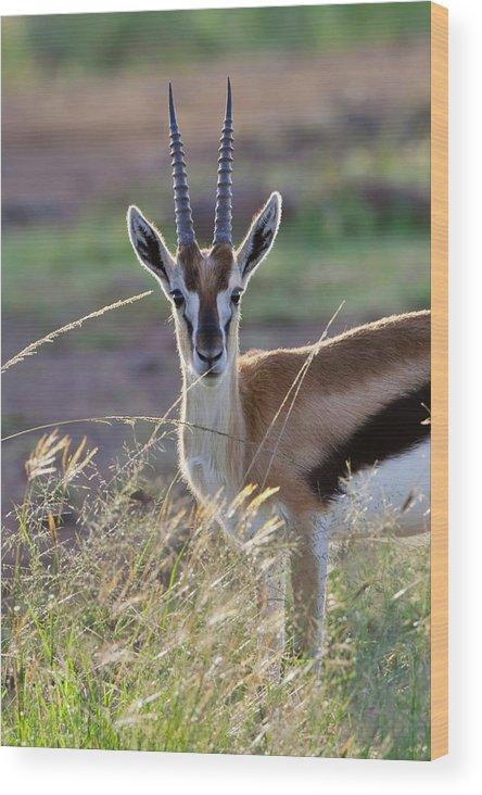 Africa Wood Print featuring the photograph Thomson's Gazelle (gazella Thomsoni by Keren Su