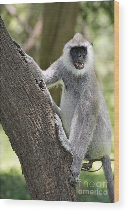 Animal Wood Print featuring the photograph Tufted Grey Langur Threat Display by Tony Camacho