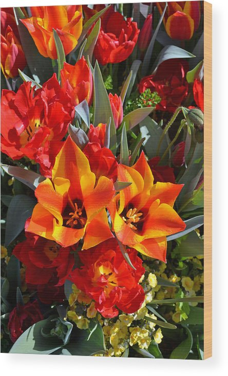Tulip Wood Print featuring the photograph Tulips At The Pier by Holly Blunkall