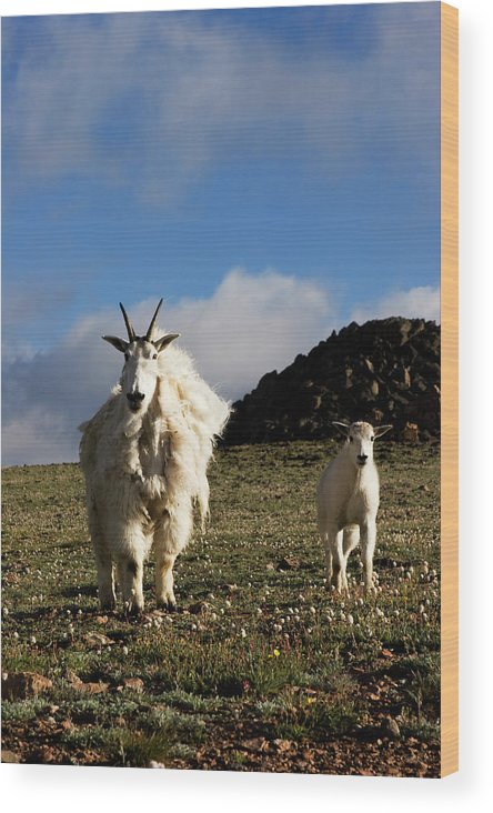 Animal Kingdom Wood Print featuring the photograph Two Mountain Goats Oreamnos Americanus by Scott Dickerson