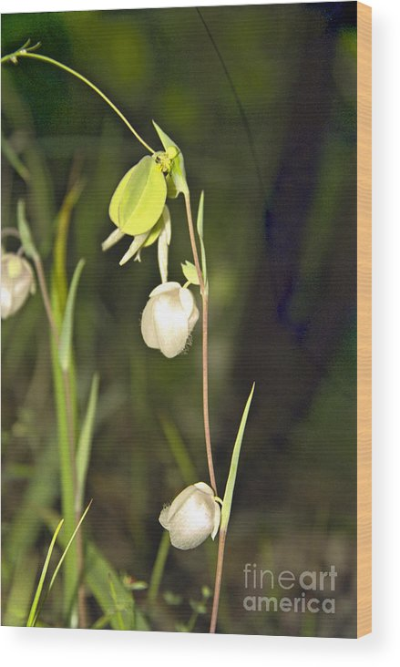 Wildflowers; Globes; Nature; Green; White Wood Print featuring the photograph Whispers by Kathy McClure