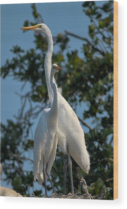 White Wood Print featuring the photograph White Egret by Jeff Wright