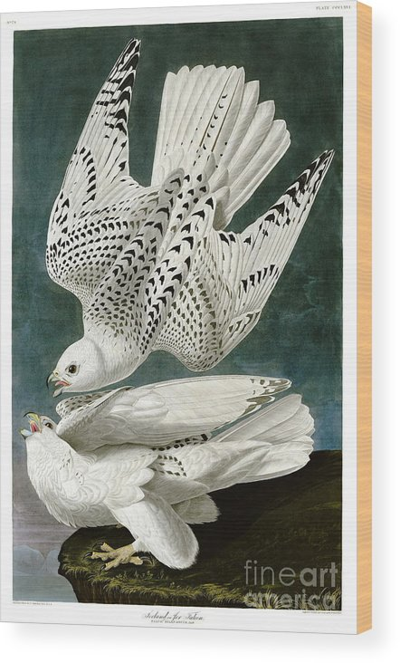 Louisiana Heron Wood Print featuring the drawing White Falcon by Celestial Images
