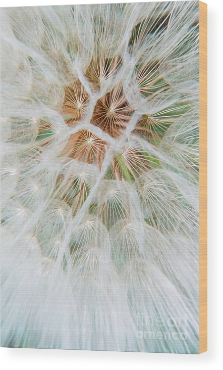 Seed Wood Print featuring the photograph Winged Seeds by Frank Townsley