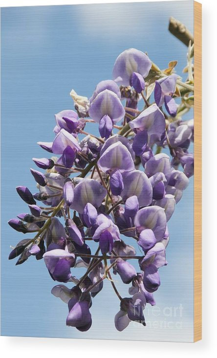 Wisteria Brachybotrys Wood Print featuring the photograph Wisteria Brachybotrys by Carol Casselden