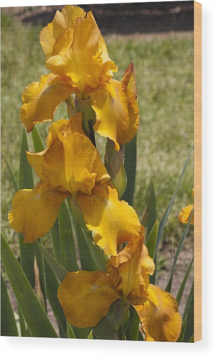 Iris Wood Print featuring the photograph Yellow As The Sun by Nicole Colella