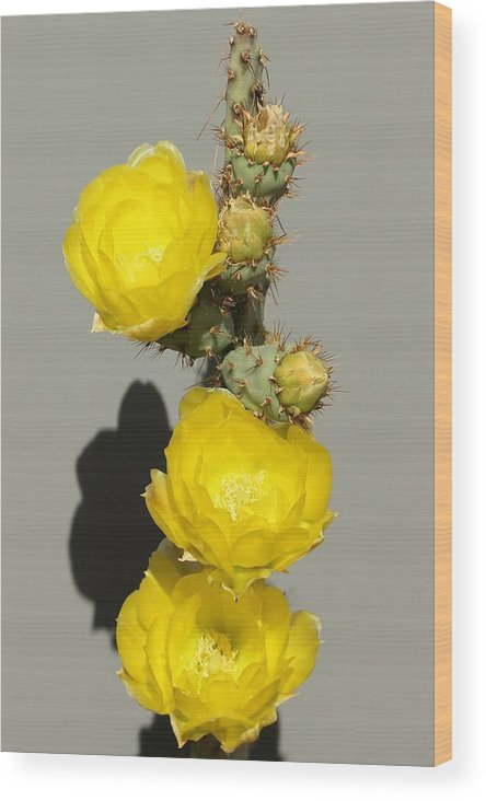 Landscapes Wood Print featuring the photograph Yellow Cactus Flowers by Douglas Miller