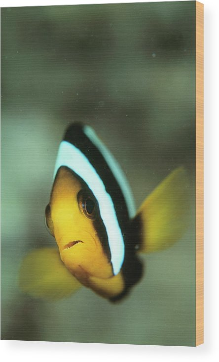 Anemonefish Wood Print featuring the photograph Yellowtail Anemonefish by Matthew Oldfield/science Photo Library