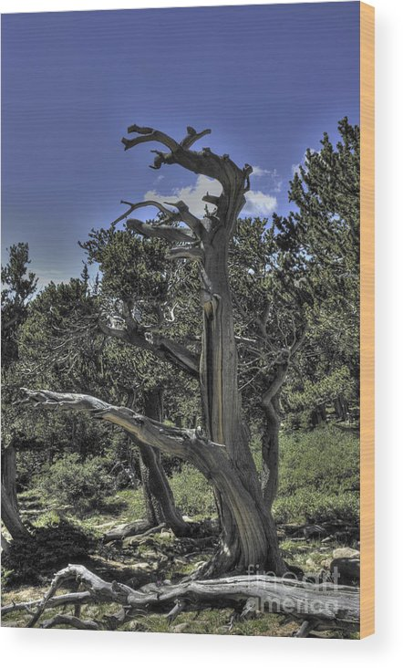 Bristlecone Pine Wood Print featuring the photograph Bristlecone Pine by David Bearden