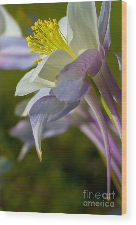 Beauty Wood Print featuring the photograph Colorado Blue Columbine At Lake Irwin by Crystal Garner