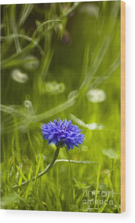 June Wood Print featuring the photograph Cornflower by Angel Ciesniarska