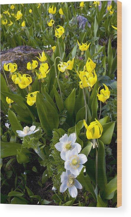 Erythronium Grandiflorum Wood Print featuring the photograph Erythronium Grandiflorum by Bob Gibbons