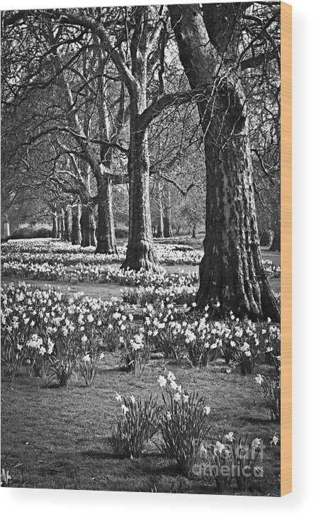 Daffodils Wood Print featuring the photograph Daffodils In St. James's Park by Elena Elisseeva
