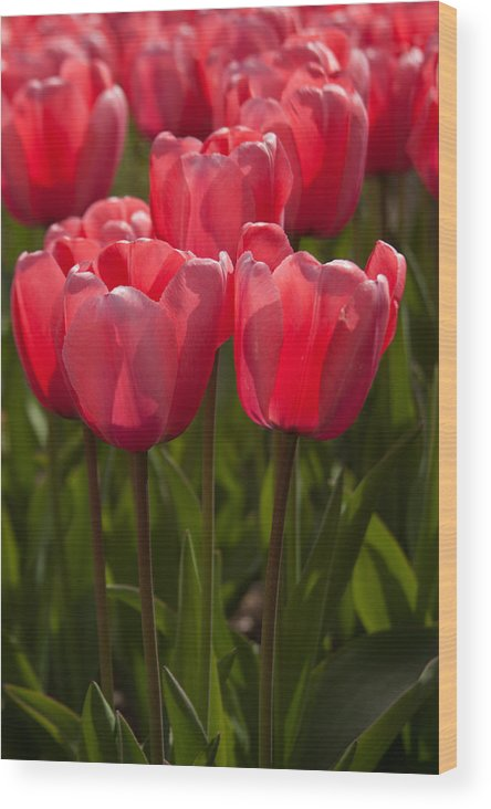 2012 Photographs Wood Print featuring the photograph 2012 Tulips 08 by Robert Torkomian