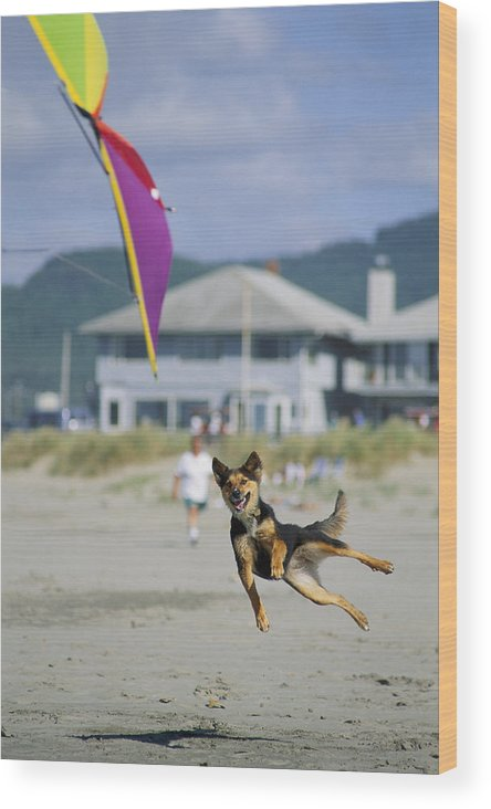 Lincoln City Wood Print featuring the photograph A German Shepherd Leaps For A Kite by Phil Schermeister