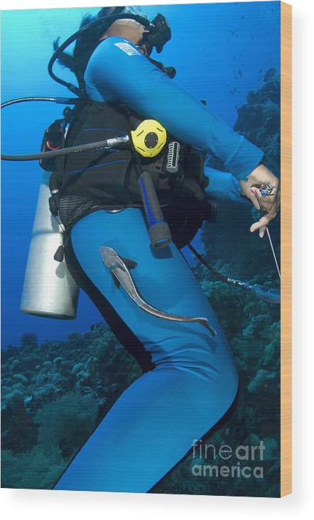 Osteichthyes Wood Print featuring the photograph A Remora Attached To A Diver, Kimbe by Steve Jones
