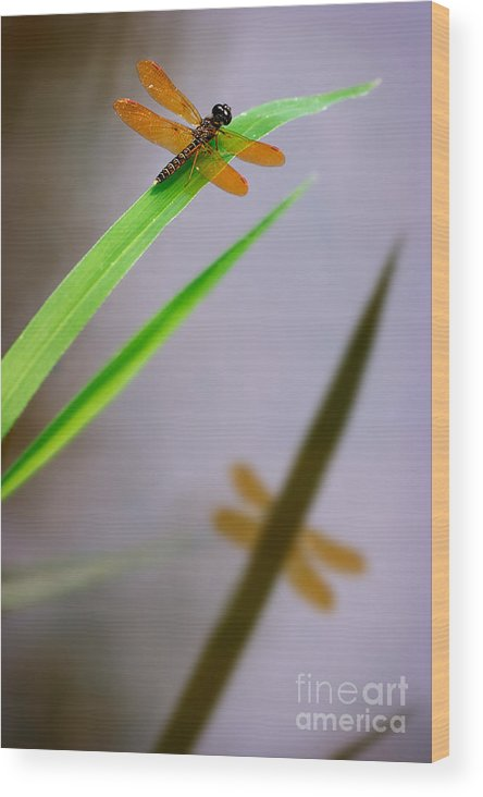 Eastern Amberwing Wood Print featuring the photograph Amberwing Reflection by Susan Isakson