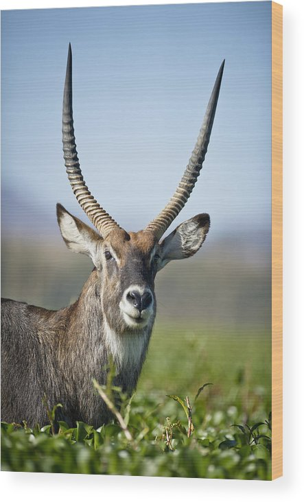 African Wildlife Wood Print featuring the photograph An Antelope Standing Amongst Tall by David DuChemin