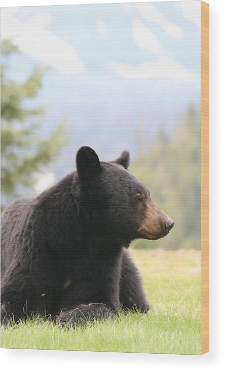 Bear Wood Print featuring the photograph Big Bear by KevinMichael Couenen