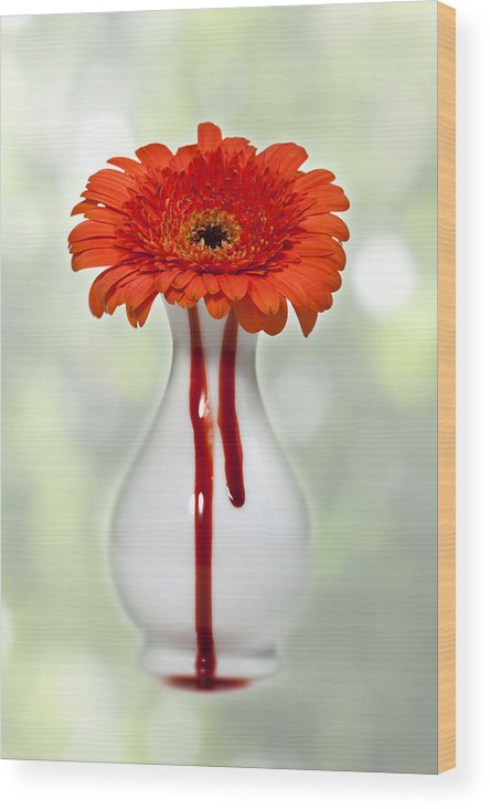Gerbera Wood Print featuring the photograph Bleeding Gerbera by Joana Kruse