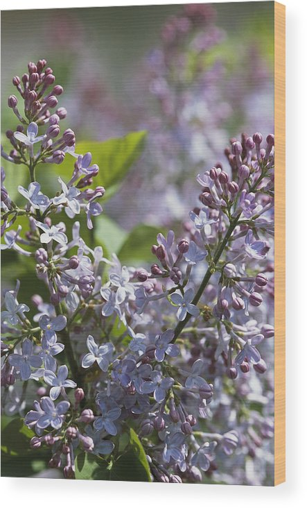 North America Wood Print featuring the photograph Blossoming Hyacinthiflora Lilacs by Darlyne A. Murawski