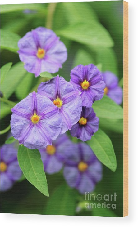 Lycianthes Rantonnetii Wood Print featuring the photograph Blue Potato Bush by Neil Overy