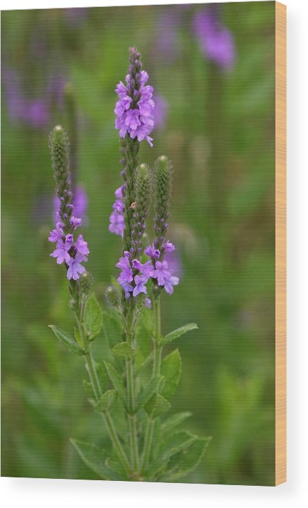 Wildflower Wood Print featuring the photograph Blue Vervain by Rick Rauzi