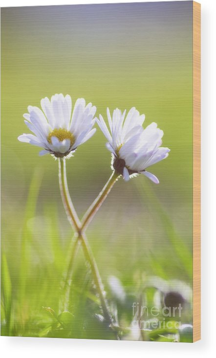 Gaenseblume Wood Print featuring the photograph Blumen Liebe by Tanja Riedel
