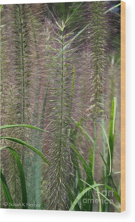 Outdoors Wood Print featuring the photograph Bottle Brush Grass by Susan Herber