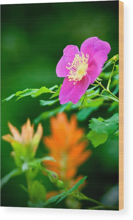 Rose Wood Print featuring the photograph Brilliant Colors by Earl Nelson