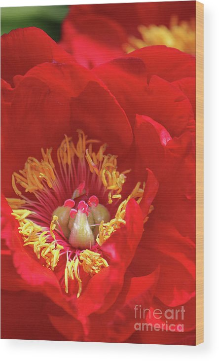 Flower Wood Print featuring the photograph Burst Of Red by Denise Wilkins