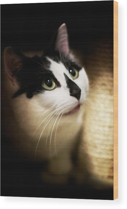 Bandit Wood Print featuring the photograph Catsablanca by JM Photography