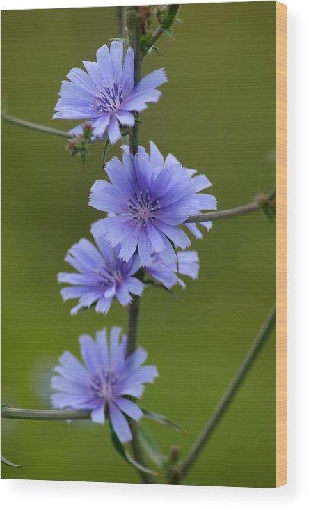 Wildflower Wood Print featuring the photograph Chicory by Rick Rauzi