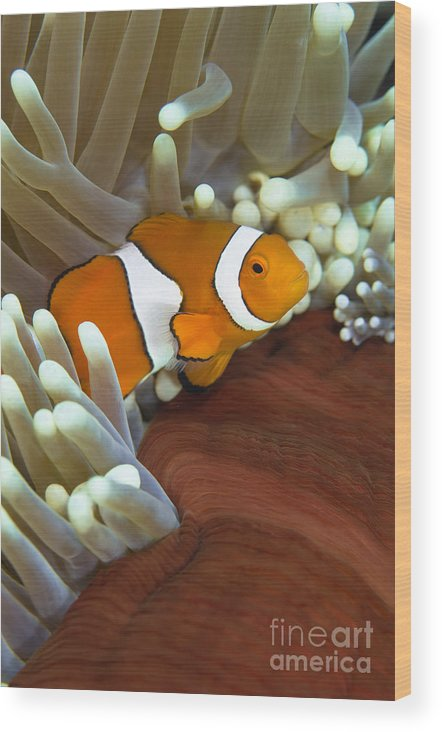 Osteichthyes Wood Print featuring the photograph Clown Anemonefish In Anemone, Great by Todd Winner