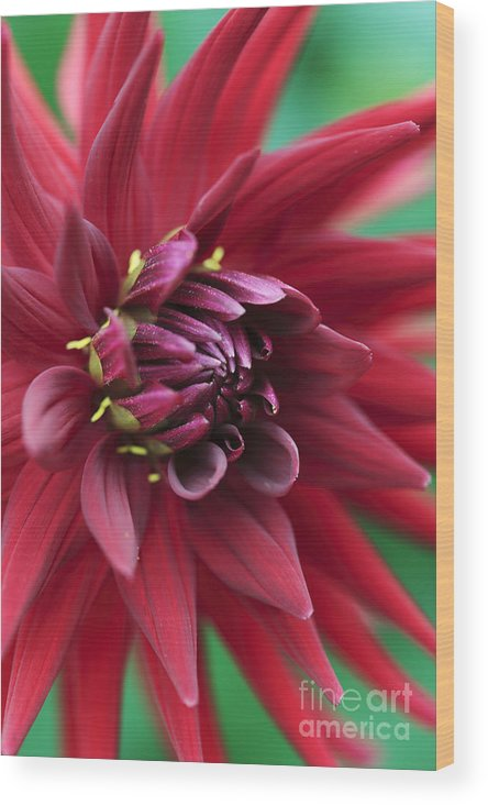Dahlia Wood Print featuring the photograph Dahlia 'country Boy' by Neil Overy