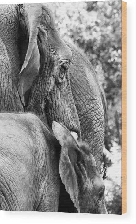 African Elephant Wood Print featuring the photograph Elephant Ears by Angela Rath