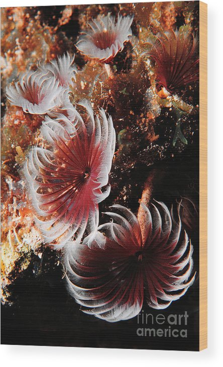 Underwater Wood Print featuring the photograph Feeding Feather Dusters by Mike Nellums
