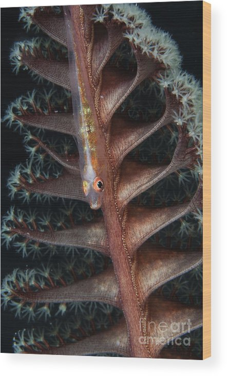 Osteichthyes Wood Print featuring the photograph Goby On A Sea Pen, Indonesia by Todd Winner