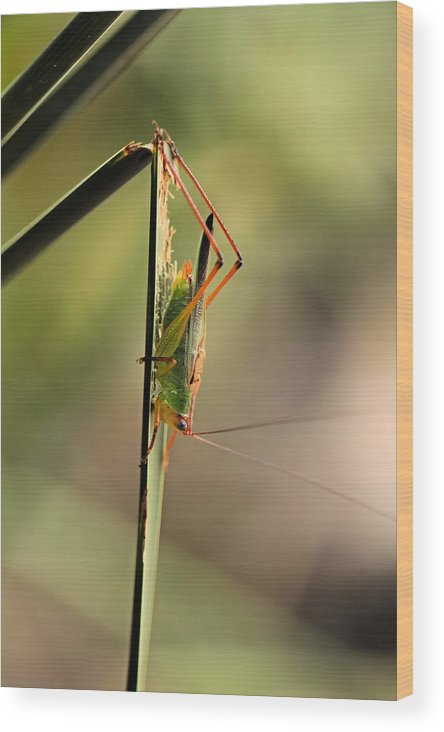 Grasshopper Wood Print featuring the photograph Grasshopper by Katherine White