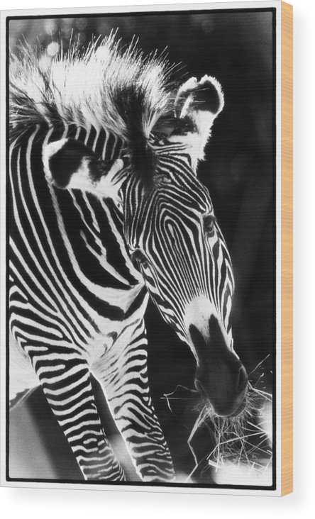 Animals Wood Print featuring the photograph Gravy Zebra by Perla Copernik