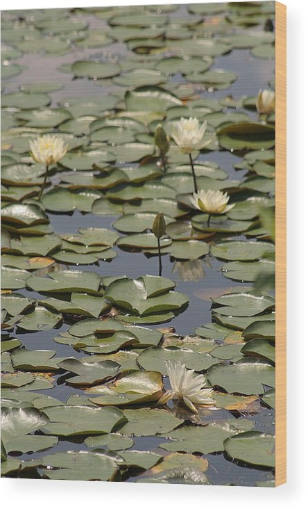 Lily Pad Wood Print featuring the photograph Lily 1 by Jesse Baker