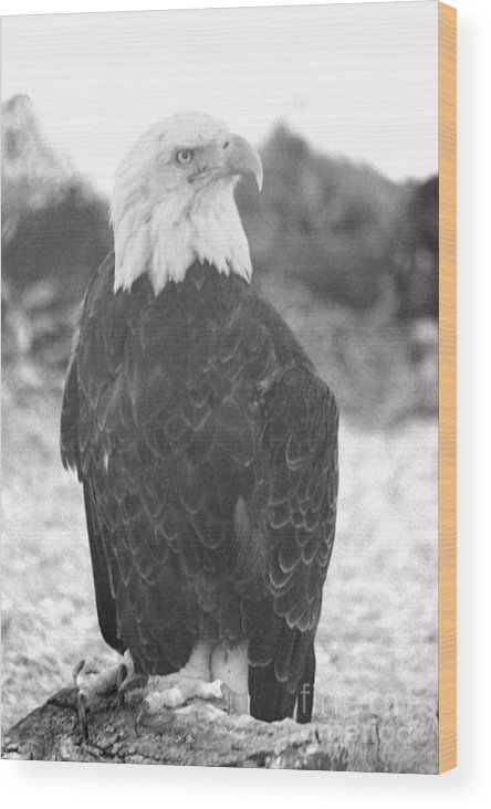 Bald Eagle Wood Print featuring the photograph Majestic Black And White by Eric Irion